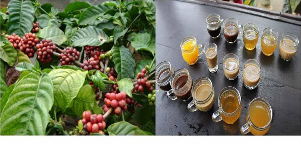 Coffee-Plantation-Testing-In-Bali-Tour