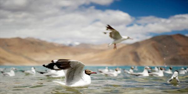 gulls-pangong